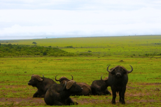 A group of water buffalo in Masai Mara [2009: Oktofani]
