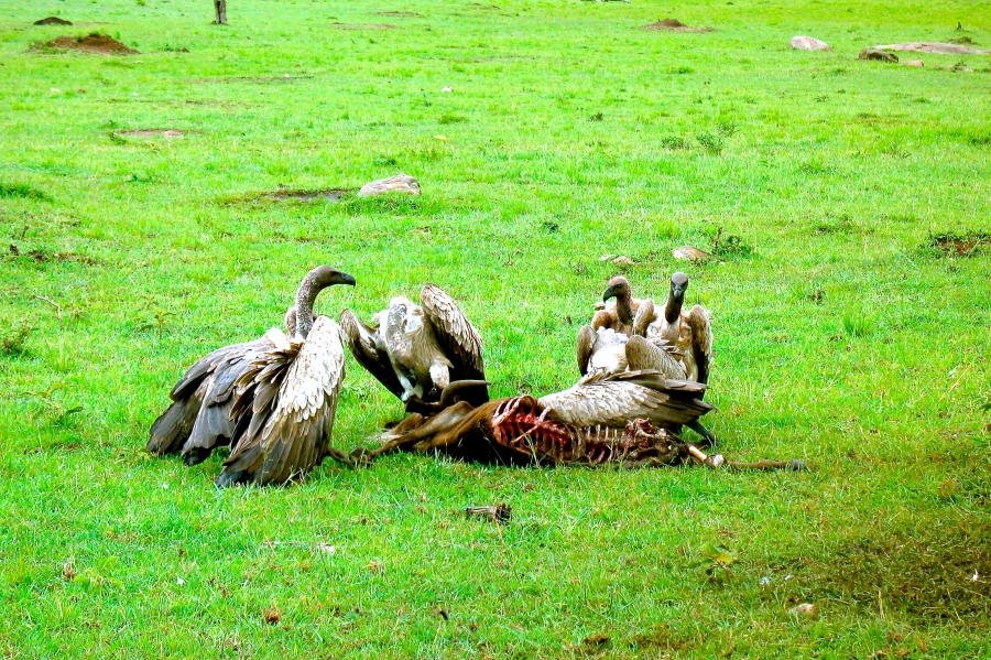A group of vulture shared their food [2009: Oktofani]